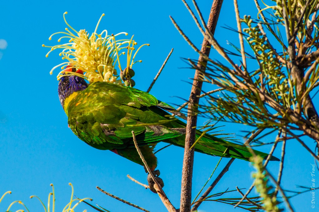 australia travel tips: Australian rainbow lorikeet hanging out on a tree right in front of my patio