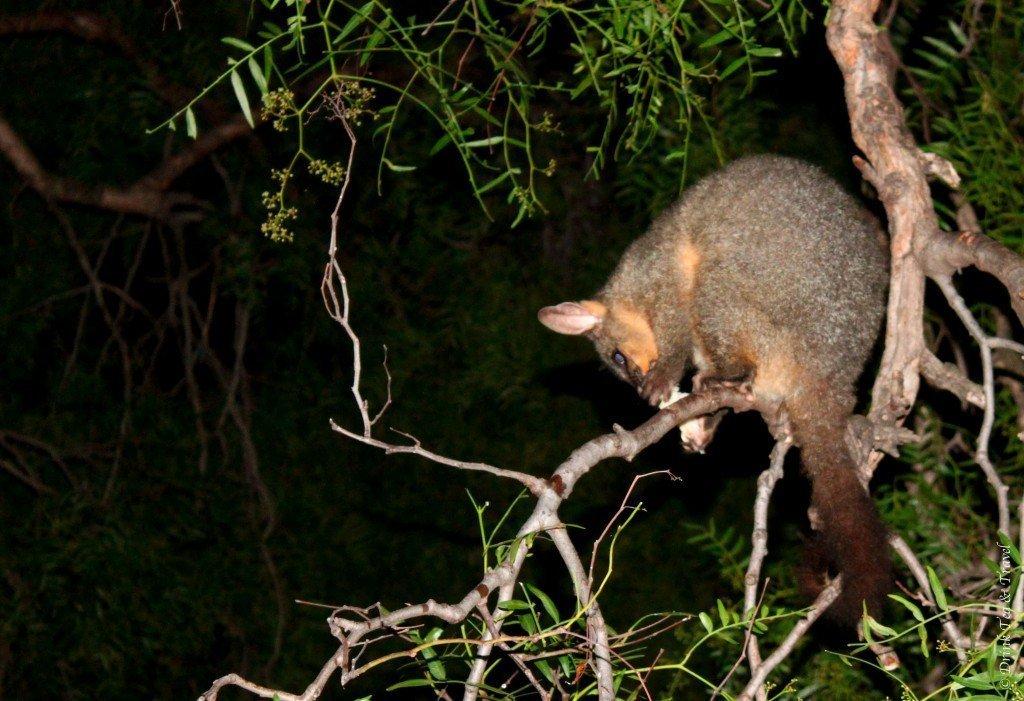 Possum, Australia